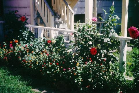 Dahlias and Marigolds