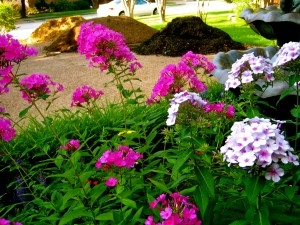 Summer Phlox Adorn the Dirt and Mulch Piles in Front