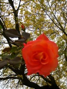 Rose in Fall